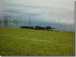 Gator (800x600)