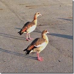 Geese Roadblock3